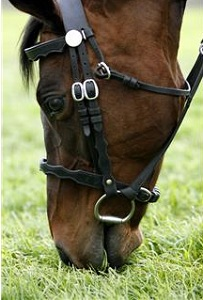Horse wearing bridle eating grass