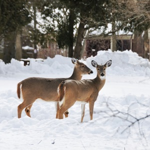 two deer in snowy yard