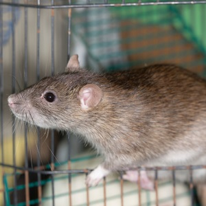 brown rat in cage
