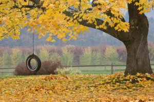 A tire swing hangs under maple tree with yellow leaves