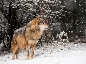 Side view of wolf on snowy hill, ears perked, head high, looking off to right side of photo