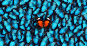 Large group of blue morpho butterflies (Morpho peleides) as a background with one orange butterfly in the foreground.