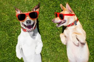Two dogs wearing sunglasses