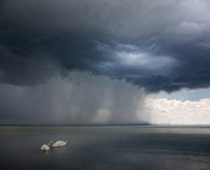 Swans swim calmly on lake as storm approaches