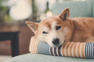 Shiba Inu with eye half closed lying on pillow in living room relaxing