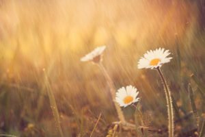 Daisies stand upright in midst of rain shower