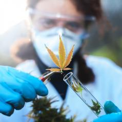 A scientist picks up a cannabis plant with her tweezers.